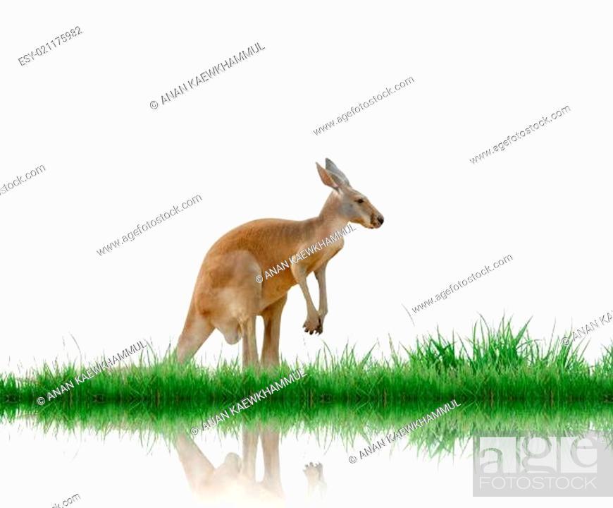 Stock Photo: kangaroo isolated.