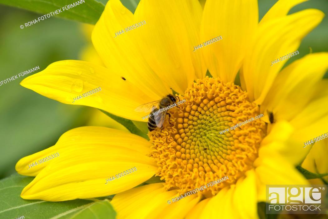 Stock Photo: Bayern, Oberbayern, Blume, Blumen, Bluete, Blüte, Blueten, Blüten, Hausgarten, Garten, Gartenblume, Gartenblumen, Hausgarten, Flora, Pflanze, Pflanzenwelt.