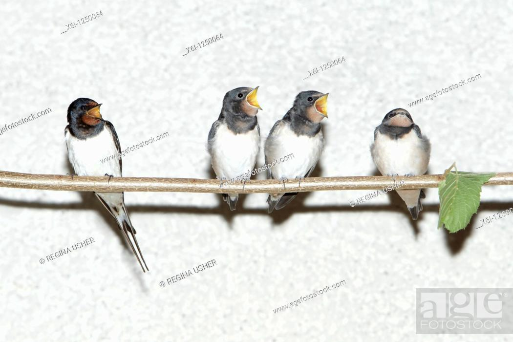 Stock Photo: Barn Swallow Hirundo rustica, parent bird and fledgelings sitting on stick, Germany.