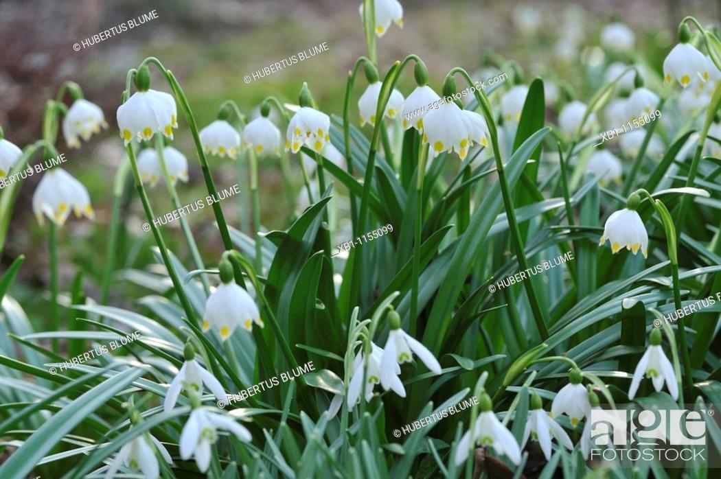 Stock Photo: Spring Snowflake, Leucojum vernum and Summer Snowflake or Loddon Lily Leucojum aestivum are bulbous plants belonging to the Amaryllidaceae family.