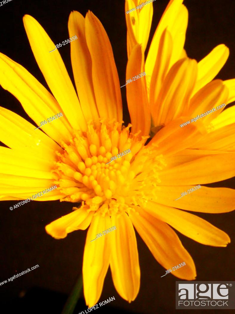 Stock Photo: Euryops pectinatus flower.