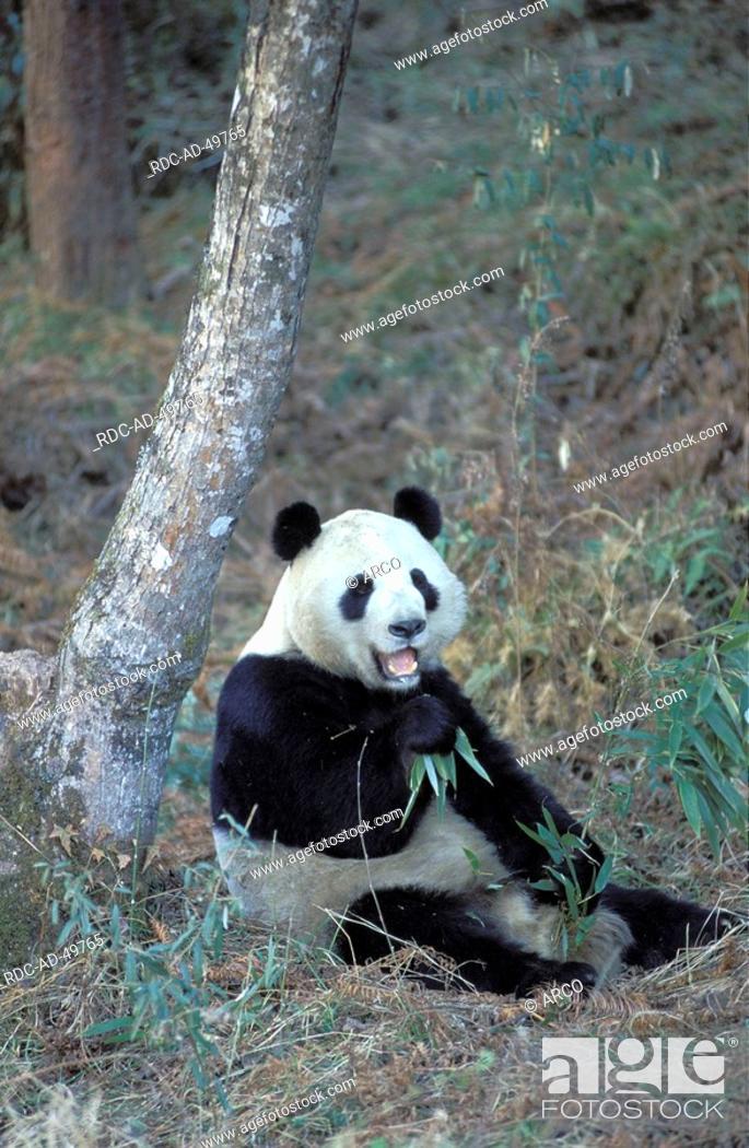Stock Photo: Giant Panda Ailuropoda melanoleuca.