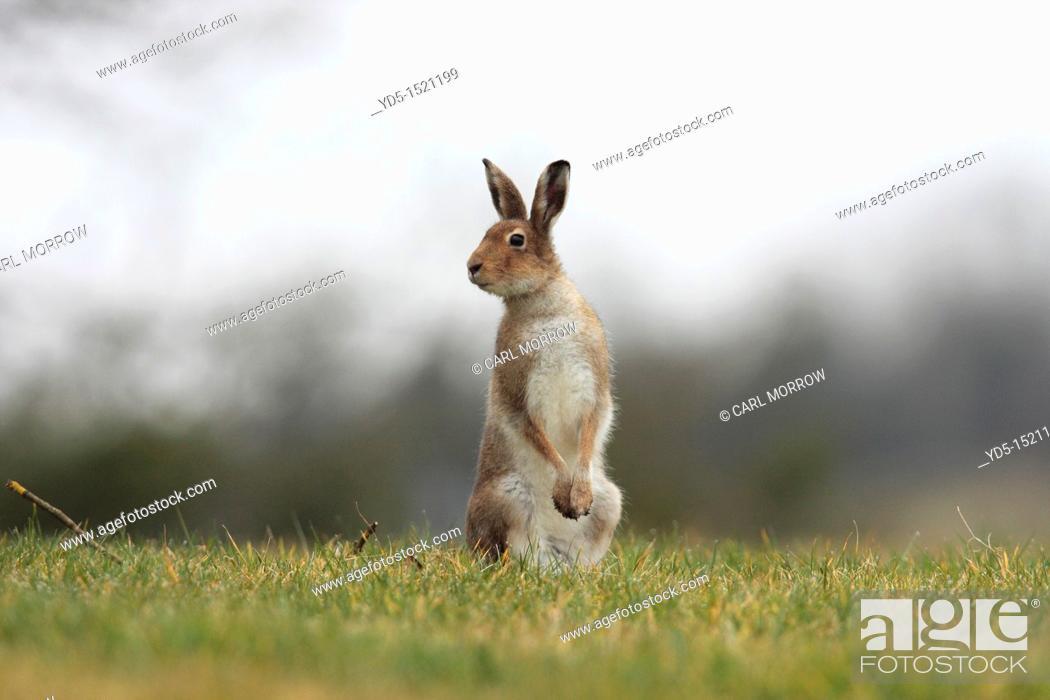 Stock Photo: Irish Hare Lepus timidus hibernicus.