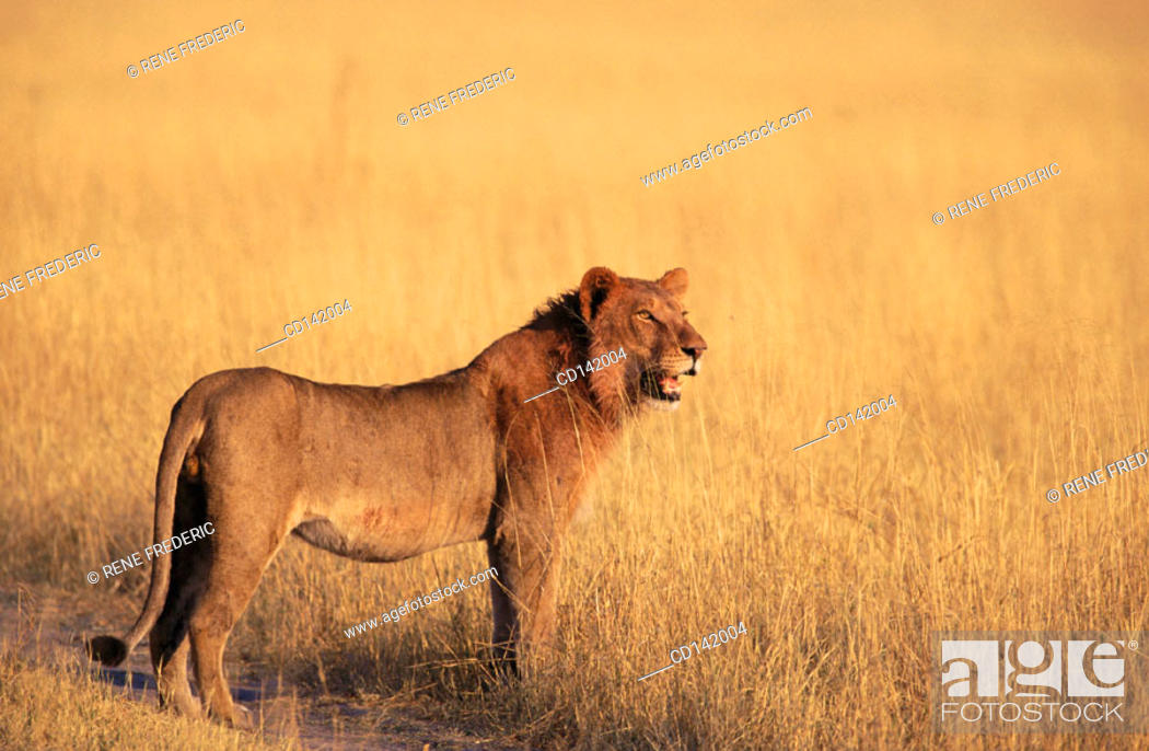 Stock Photo: Lion (Panthera leo). Moremi Wildlife Reserve. Botswana.