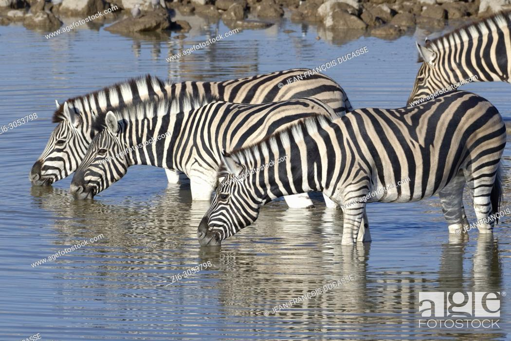 Stock Photo: Herd of Burchell's zebras (Equus quagga burchellii), standing in water, drinking, Okaukuejo waterhole, Etosha National Park, Namibia, Africa.