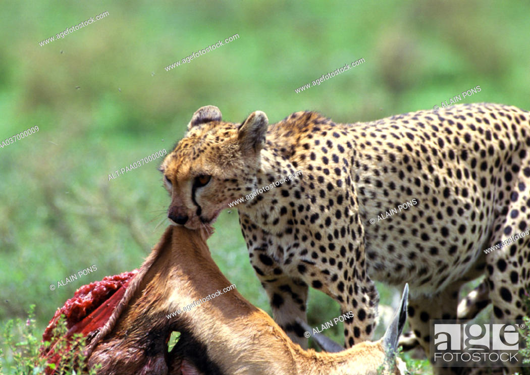 Stock Photo: Africa, Tanzania, cheetah devouring prey.