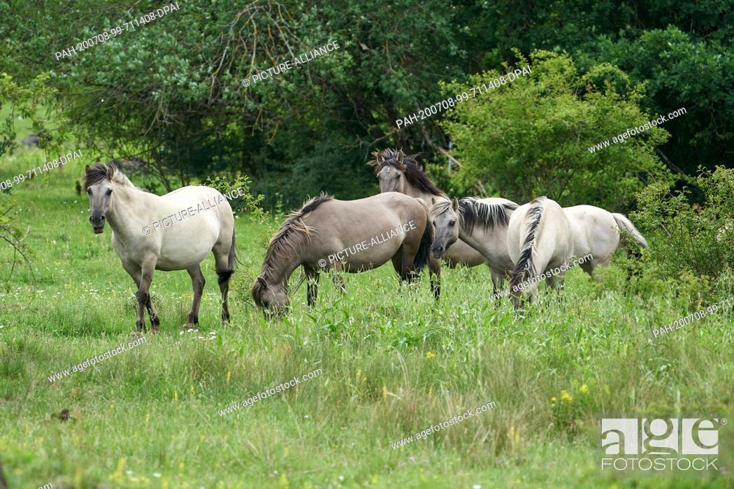 Stock Photo: 05 July 2020, Rhineland-Palatinate, Koblenz: Conic horses graze the nature reserve on the former military training area Schmidtenhöhe.