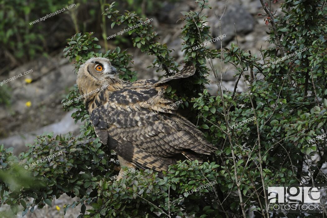 Stock Photo: Eurasian Eagle Owl ( Bubo bubo ), young bird, landed in a bush, still unsafe, looking back, turns its head, wildlife, Germany.