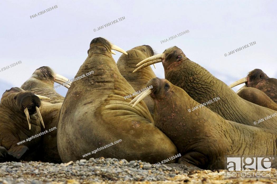 Stock Photo: Walrus Odobenus rosmarus - Torellneset, Nordaustlandet, Spitsbergen, Svalbard, Europe.