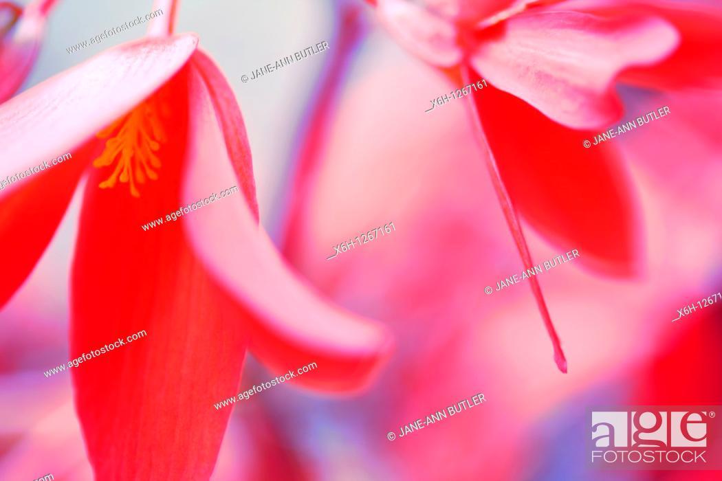 Stock Photo: Atmospheric Bellfire Begonias.