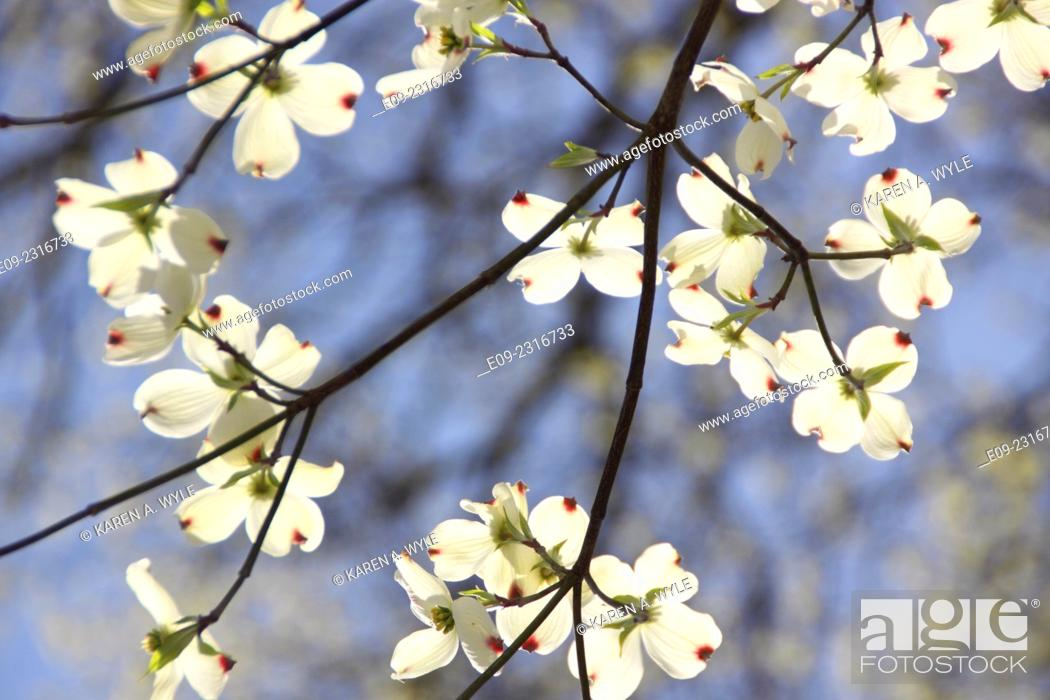 Stock Photo: white dogwood blossoms against branches and blue sky, Monroe County, IN.