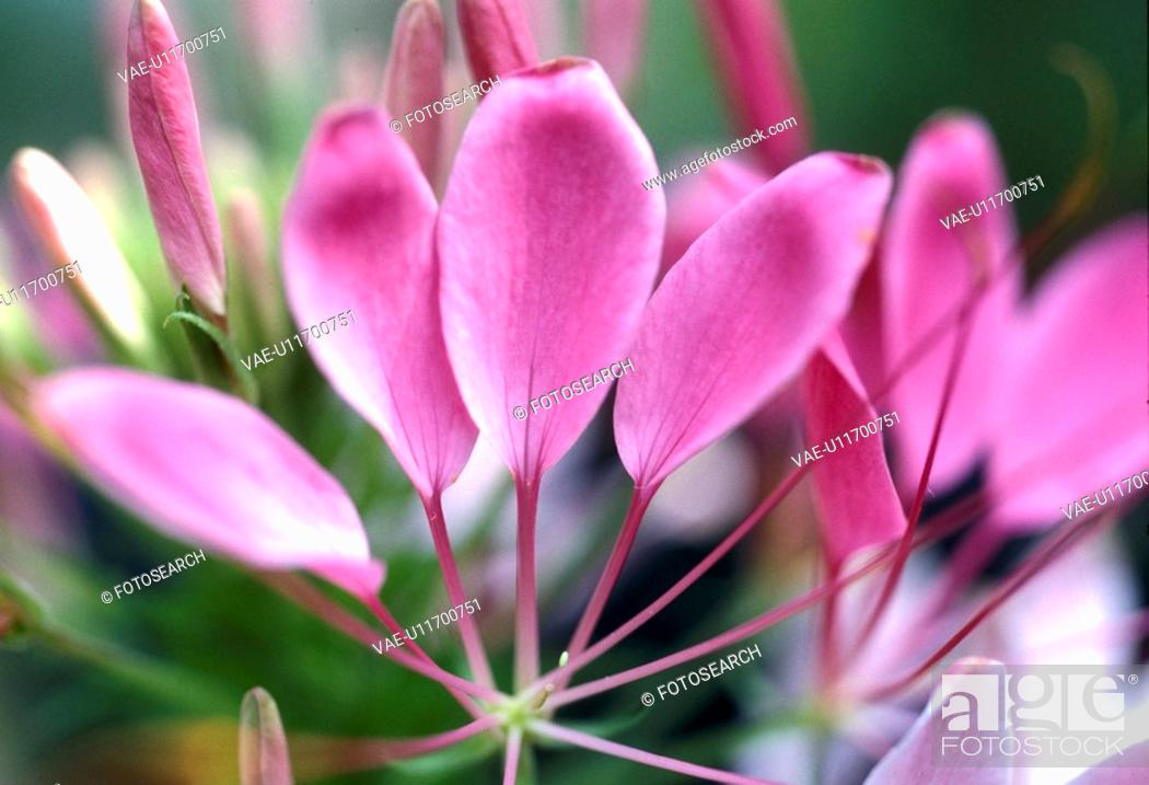 Stock Photo: cleome, Bernhard, blossom, blooms, bloom, abloom.