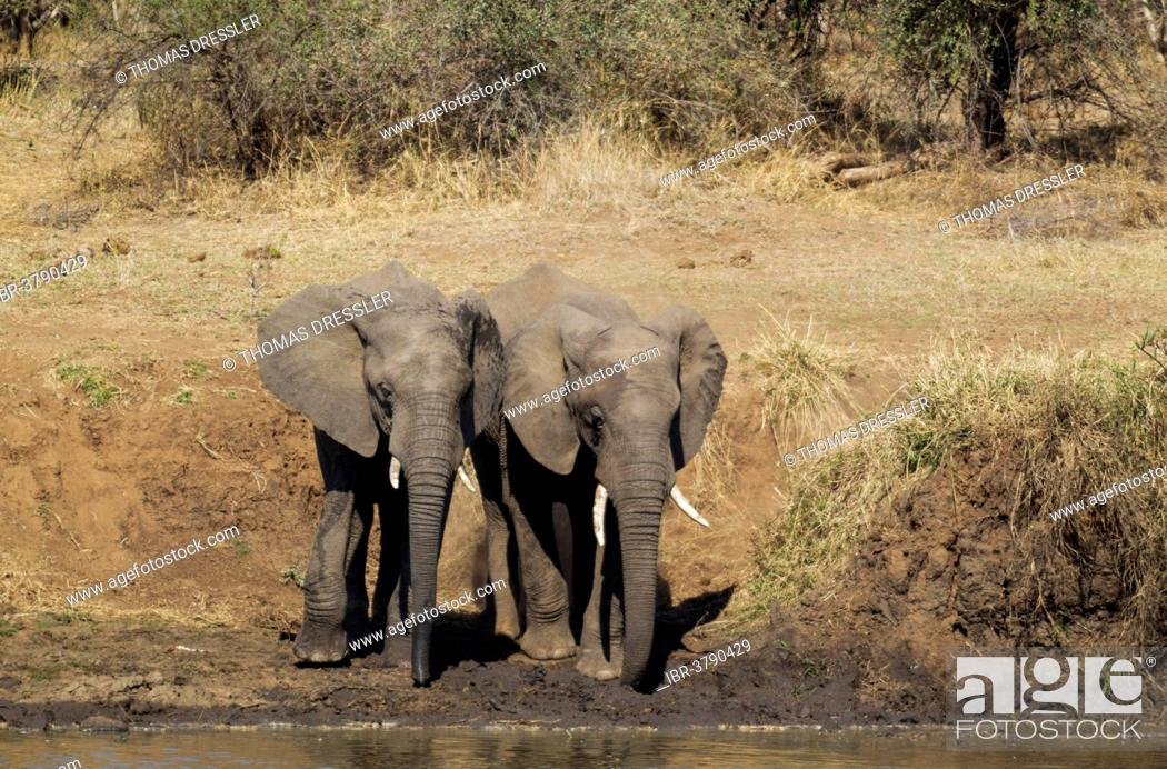 Stock Photo: African Elephants (Loxodonta africana), two bulls standing on the bank of the Shingwedzi River, Kruger National Park, South Africa.