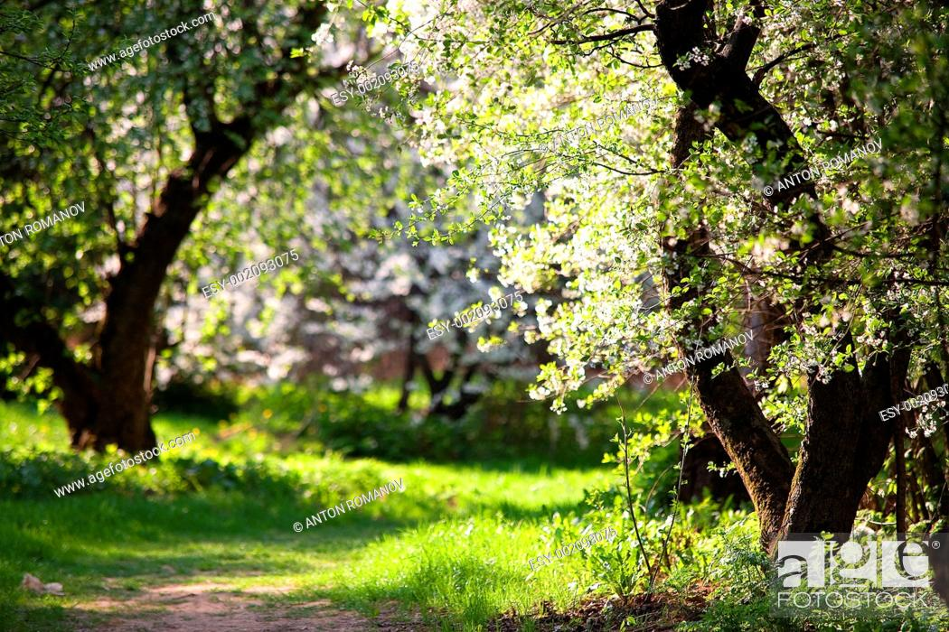 Stock Photo: Blooming Apple Trees in the park. Pathway. Spring. Russia.