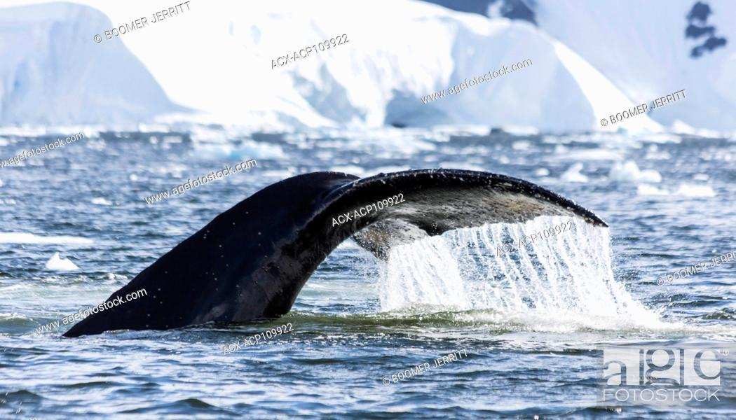Stock Photo: A Humpback Whales sounds in Wilhelmina Bay, Gerlache Strait, Antarctic Peninsula.