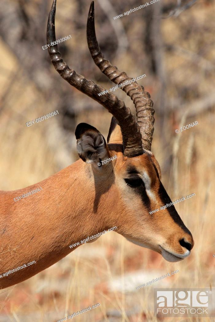 Stock Photo: Black-Aepyceros melampus petersi, Black-faced Impala.