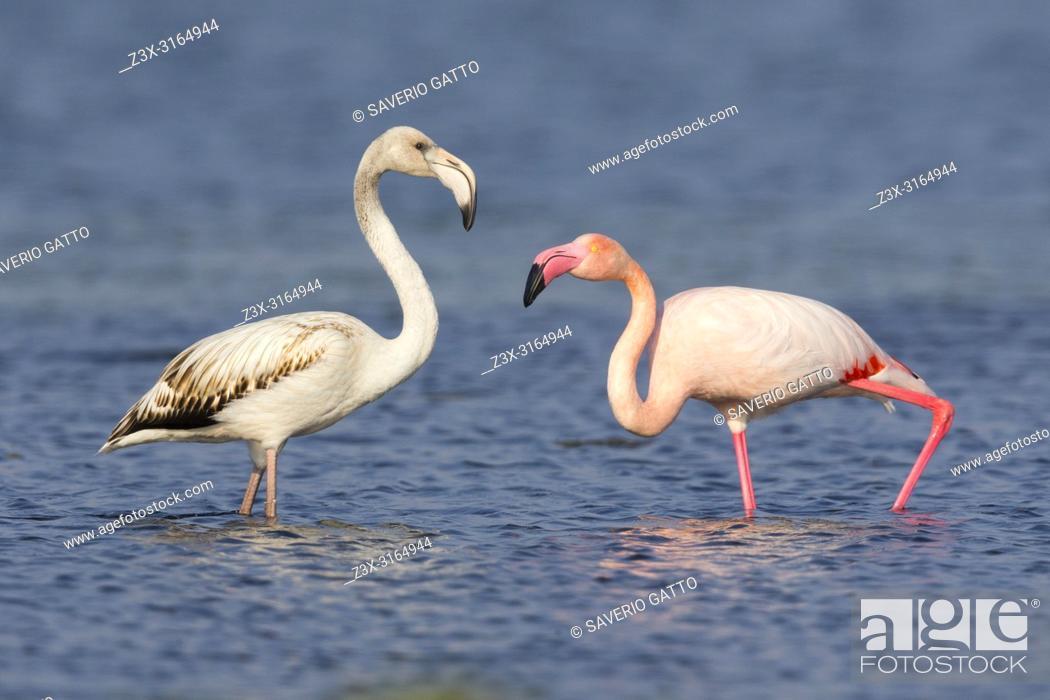 Imagen: Greater Flamingo (Phoenicopterus roseus), Juvenile and adult standing in the water, Salalah, Dhofar, Oman.