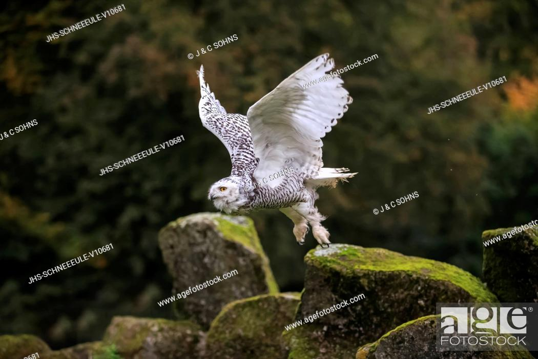 Stock Photo: Snowy Owl, (Nyctea scandiaca), adult flying, Pelm, Kasselburg, Eifel, Germany, Europe.