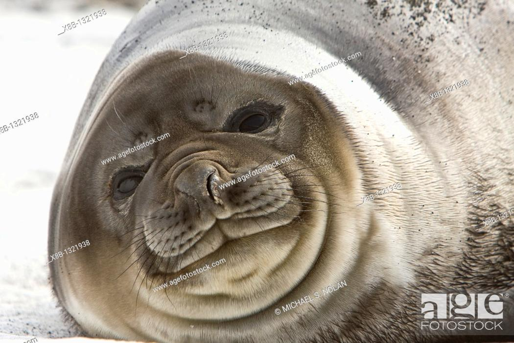 Stock Photo: Southern elephant seal Mirounga leonina on the beach at President Head on Snow Island in the South Shetland Island Group.
