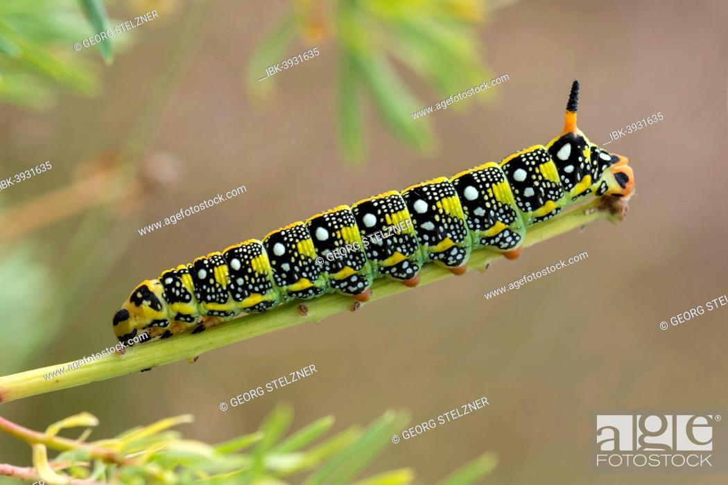 Stock Photo: Caterpillar of the Spurge Hawk-moth (Hyles euphorbiae) feeding on its food plant Cypress Spurge (Euphorbia cyparissias), Germany.