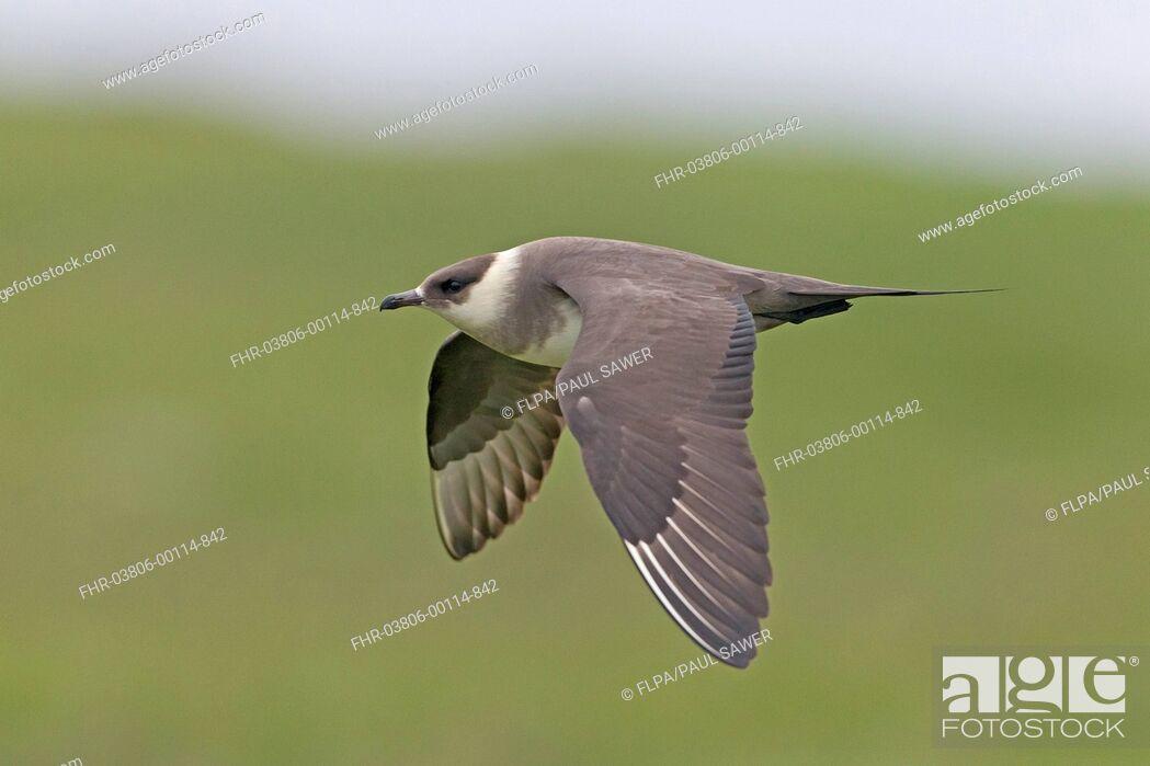 Imagen: Arctic Skua (Stercorarius parasiticus) pale phase, adult, in flight, Noss, Shetland Islands, Scotland, June.