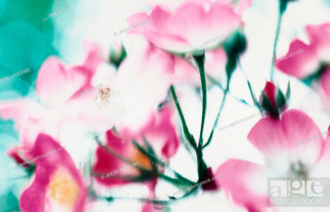 Stock Photo: Pink roses in a garden, backlight, blurred.