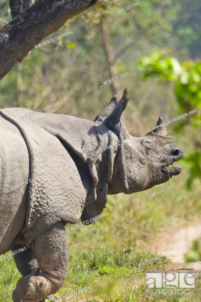 Stock Photo: Greater One-horned Rhinoceros, Indian Rhinoceros, Asian Rhino, Rhinoceros unicornis, Wetlands, Royal Bardia National Park, Bardiya National Park, Nepal, Asia.