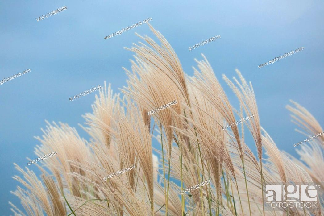 Stock Photo: plant, autumn, hairgrass, scenery, nature, plants, season.