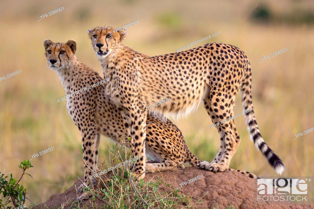 Stock Photo: Cheetahs (Acinonyx jubatus) on termite mound, Masai Mara, Kenya.