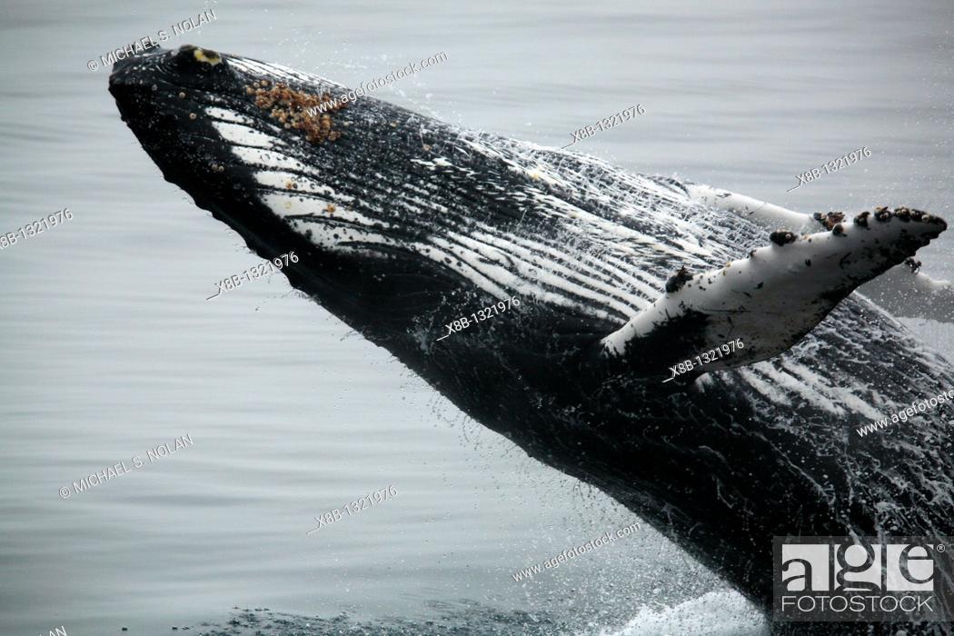 Stock Photo: Adult humpback whale Megaptera novaeangliae breaching in Dallmann Bay near the Antarctic Peninsula.