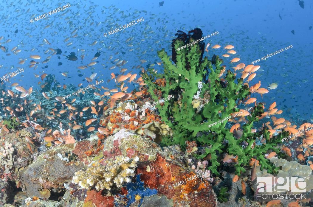 Stock Photo: Scalefin anthias, Pseudanthias squamipinnis, Verde Island, Batangas, Philippines, Pacific.