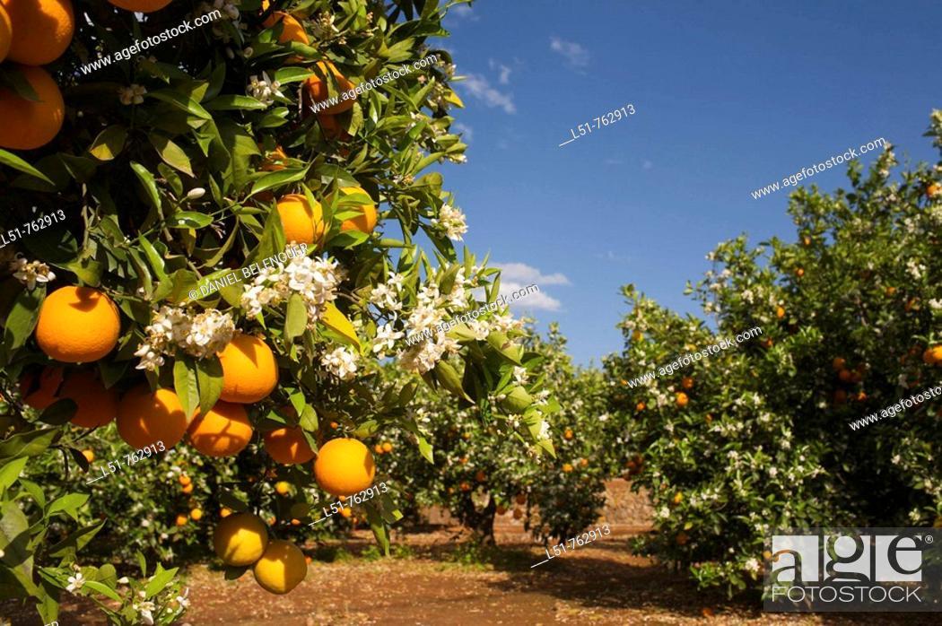 Stock Photo: Orange trees are very common in Alzira, Ribera, Valencia, Comunidad Valenciana, Spain, Europe.
