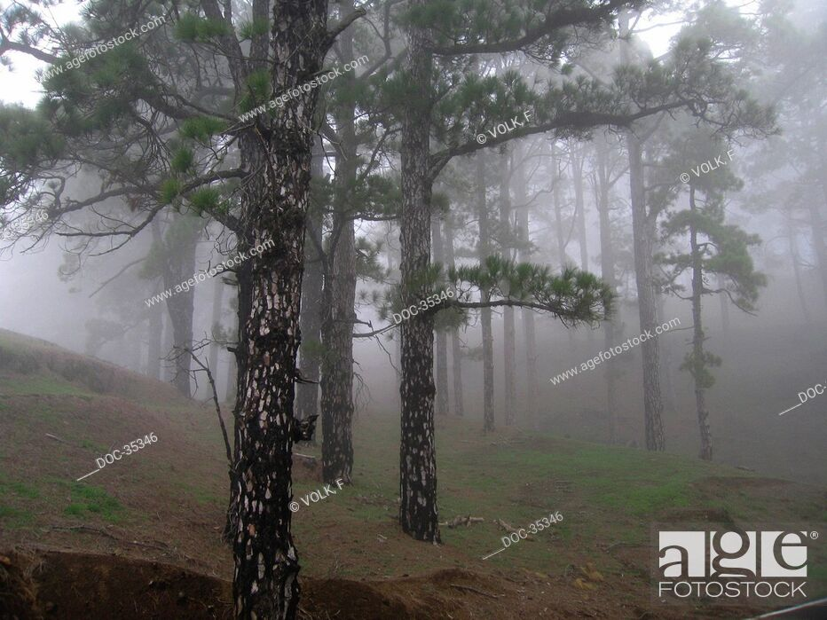 Stock Photo: Pines in a forest.