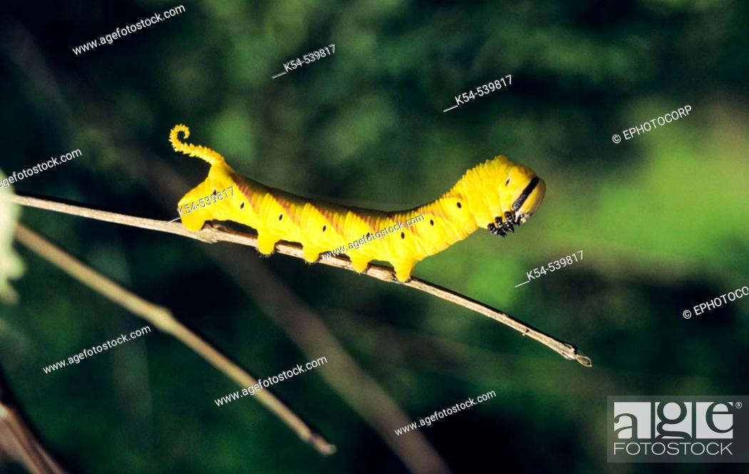 Stock Photo: Death's Head Hawk Moth caterpillar, India.
