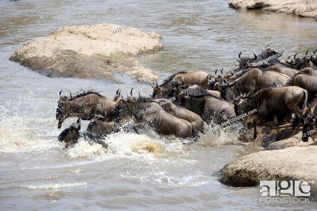 Stock Photo: Wildebeest running towards the river on migration.