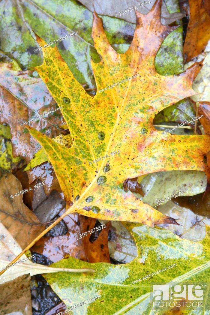 Stock Photo: wet fallen autumn leaves on pavement, Indiana.