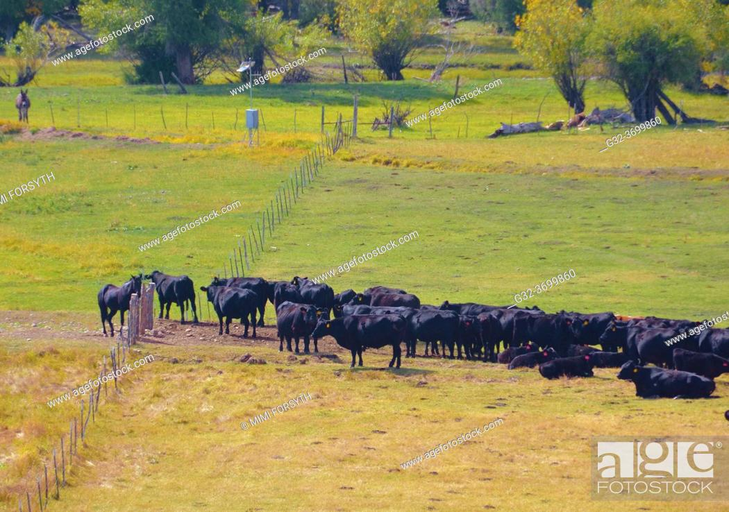 Stock Photo: cattle wait patiently at gate guarded by horse, New Mexico.