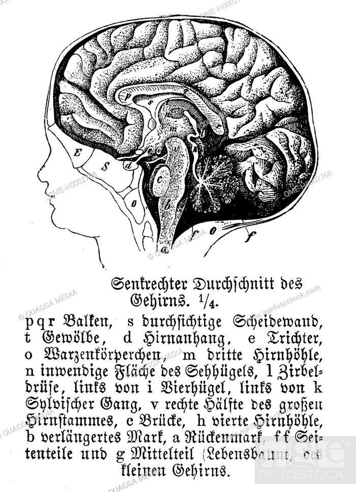 Stock Photo: Human Brain.