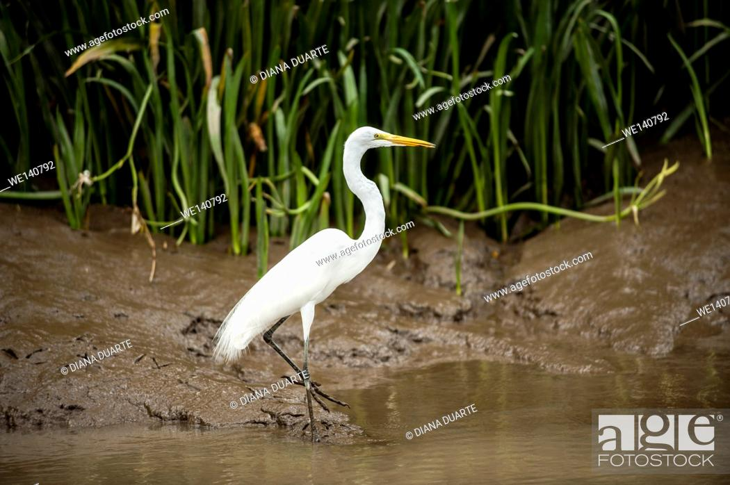 Stock Photo: Great Egret (Ardea alba), The head plumes form a short crest. The aigrette plumes of the neck are long and filamentous. The back plumes curve upwards near the.