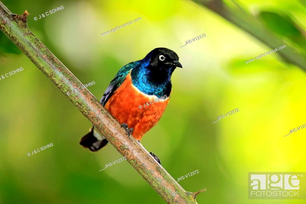 Stock Photo: Superb Starling, (Lamprospreo superbus), adult on branch, Africa.