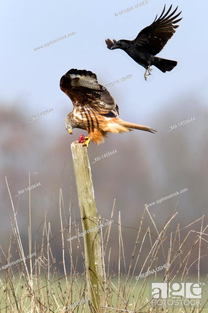 Stock Photo: Red Kite, Milvus milvus, percherd on fence post, being mobbed by carrion crow Corvus corone, Lower Saxony, Germany.