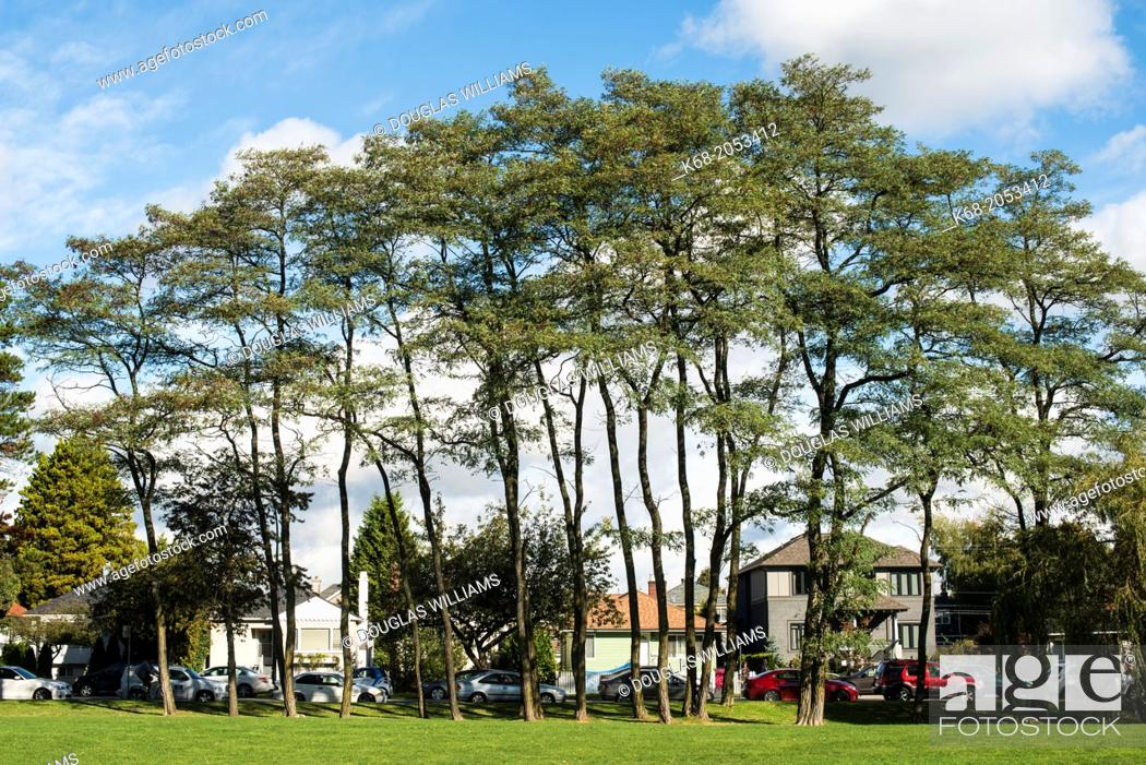 Stock Photo: group of trees on the campus of Langara College, Vancouver, BC, Canada.