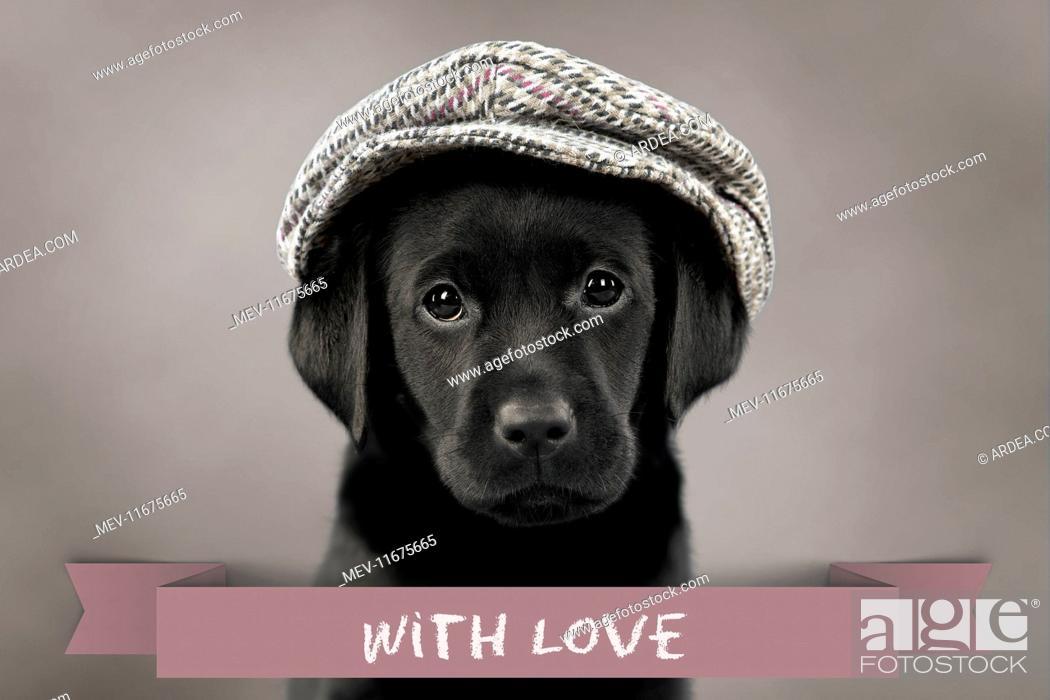 Stock Photo: Dog Labrador puppy wearing a cap ( black, 6 weeks old ). Digital Manipulation.