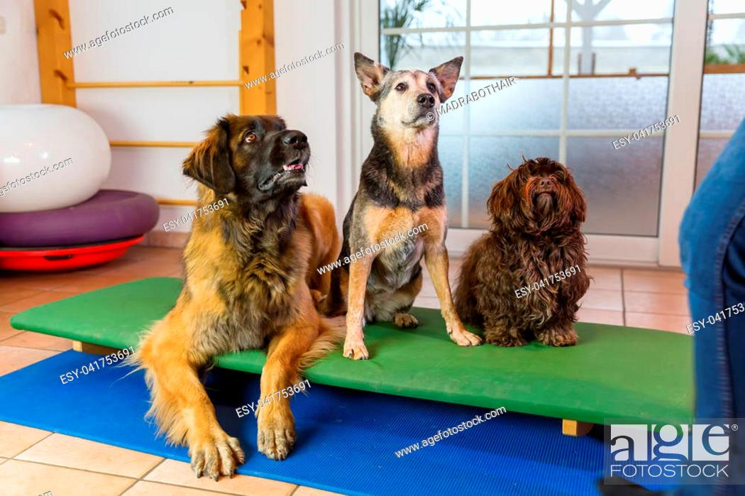 Stock Photo: a Leonberger, an Australian Cattledog and a Havanese are sitting on a wobble board in an animal physiotherapy office.