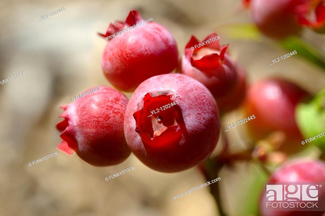 Stock Photo: Fresh whole blueberries growing.