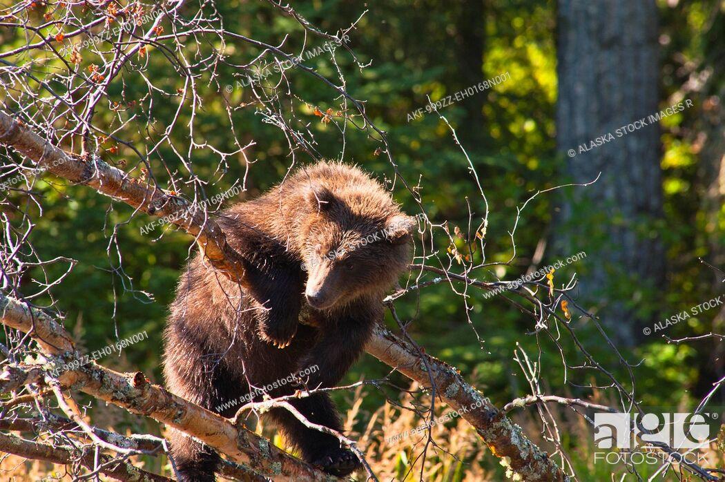 Stock Photo: Brown bear cub playing on a tree branch at the Russian River, Kenai Peninsula, Southcentral Alaska, Summer.