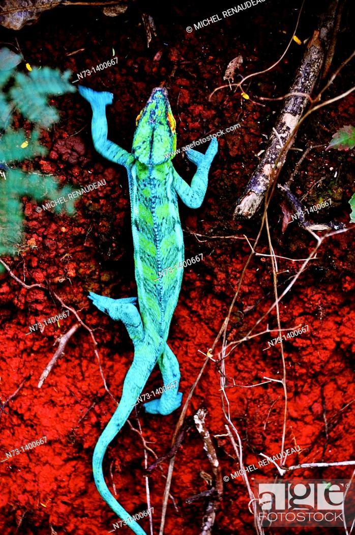 Stock Photo: Africa, Madagascar, Nosy Komba, male panther chameleon, Furcifer Pardalis.