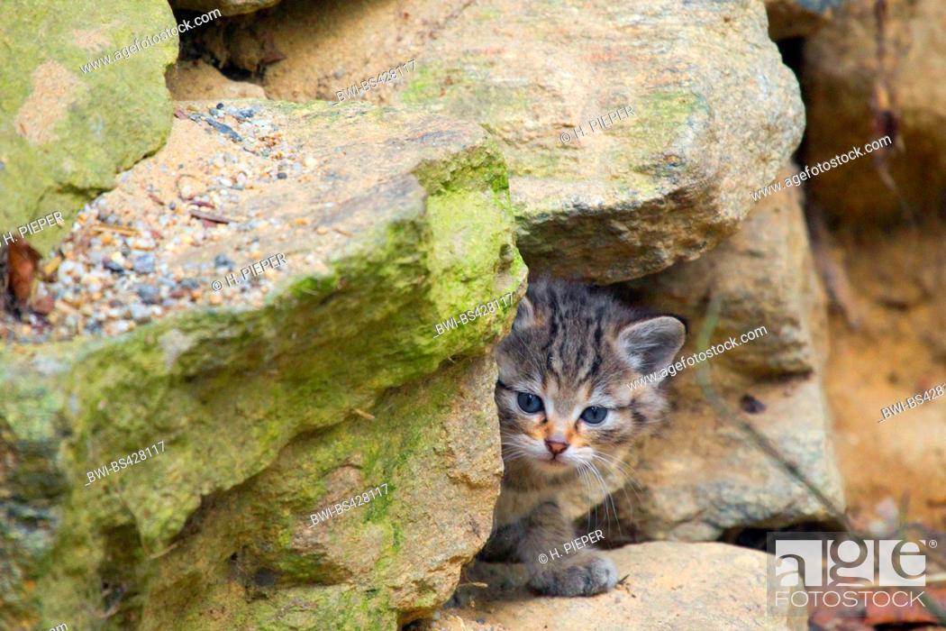 Stock Photo: European wildcat, forest wildcat (Felis silvestris silvestris), kitten at the end of March, Germany, Bayrischer Wald.