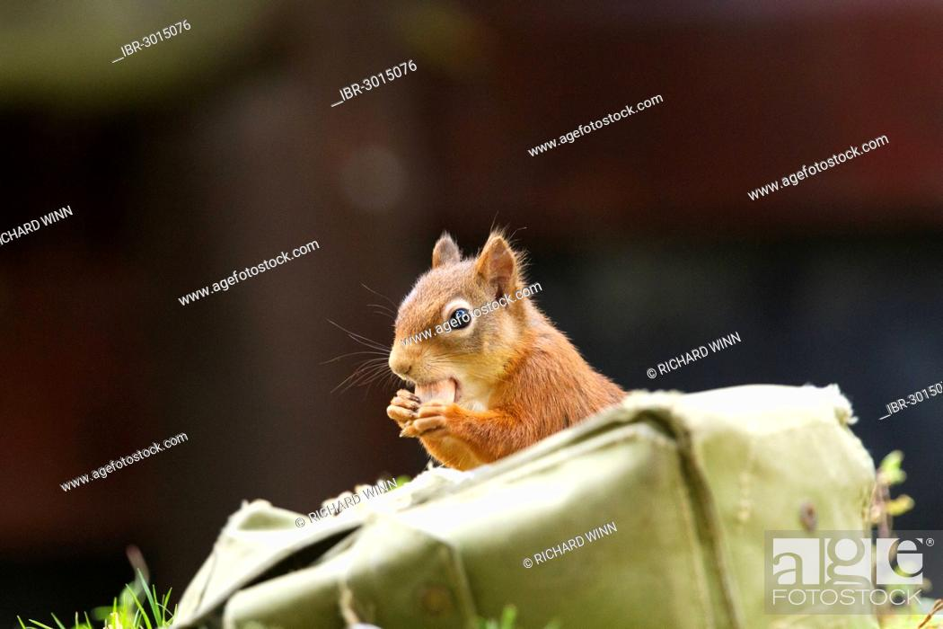 Stock Photo: Red squirrel (Sciurus vulgaris) stealing hazelnuts from a supply of bait stored in a satchel.
