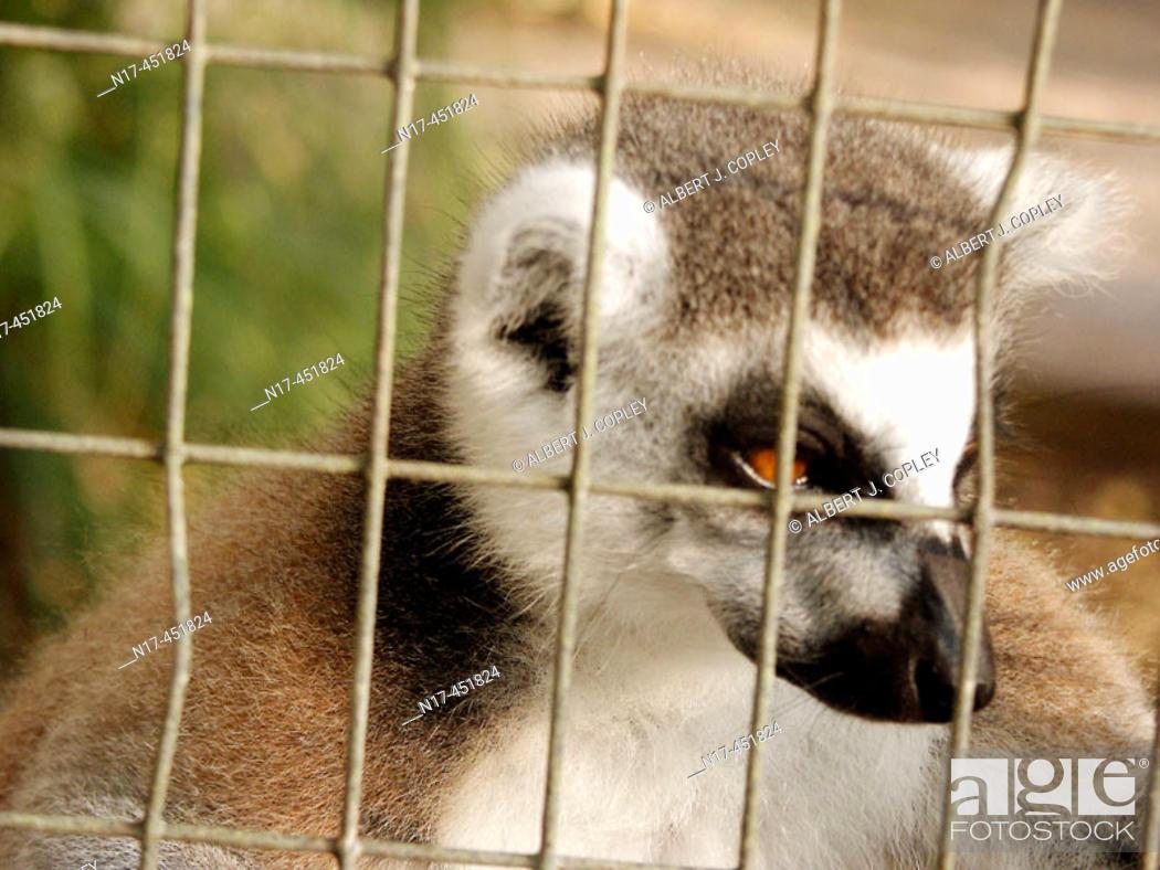 Stock Photo: Florida Everglades, captive lemur.